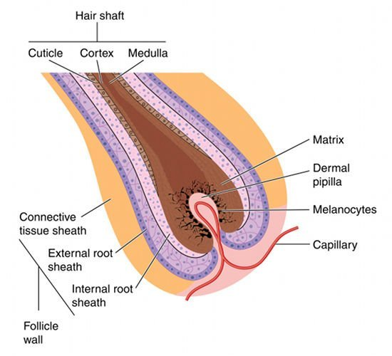 To achieve permanent hair removal it is necessary to damage stem cells in the bulge area